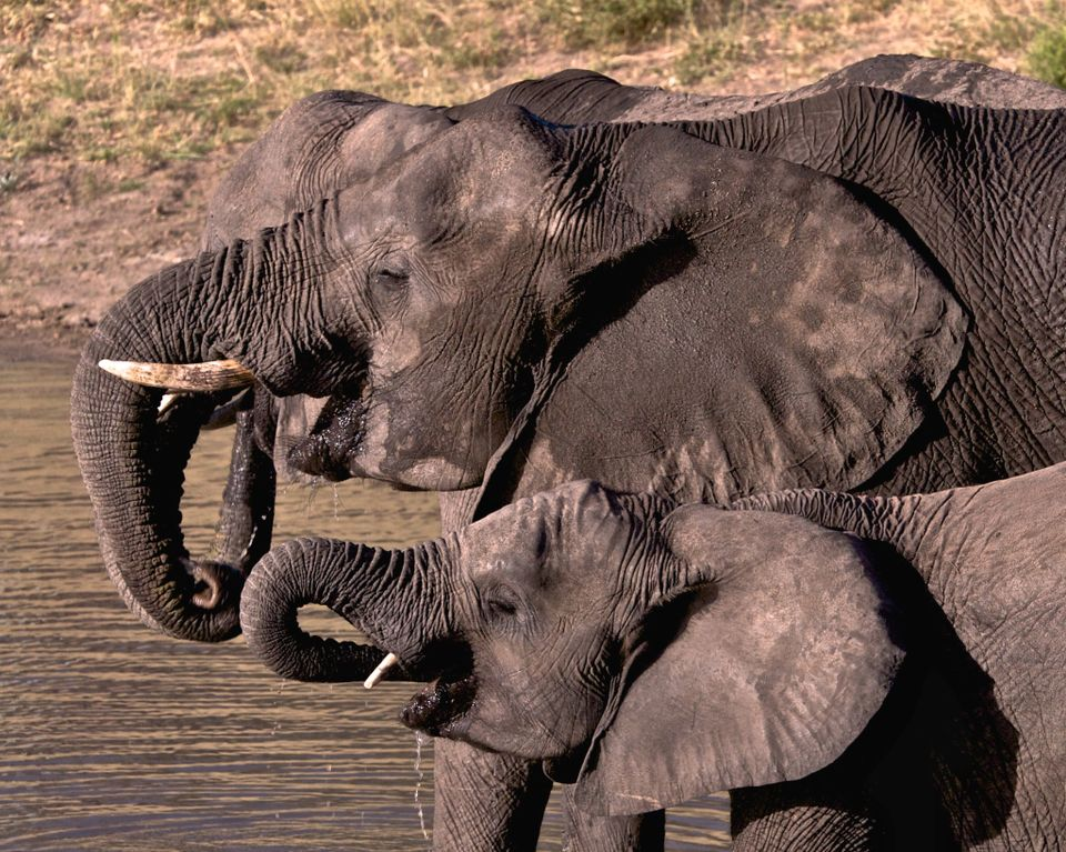 Over 20,000 African elephants are poached for their tusks each year