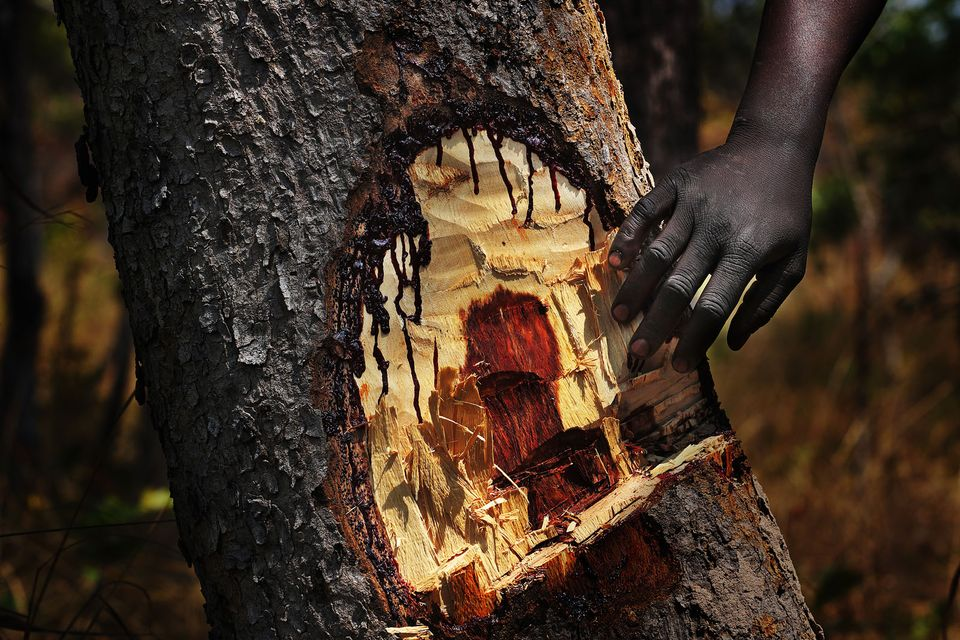 One of Lu Guang's images of bloodwood bleeding after being cut in the Democratic Republic of the Congo