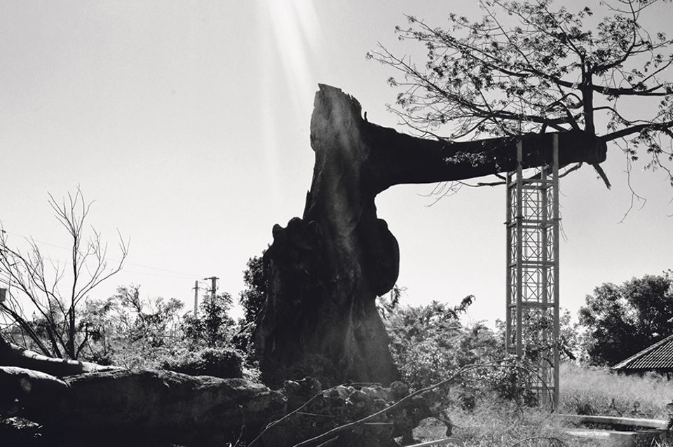 A 300-year-old ceiba tree in Ponce, Puerto Rico, after Hurricane Maria