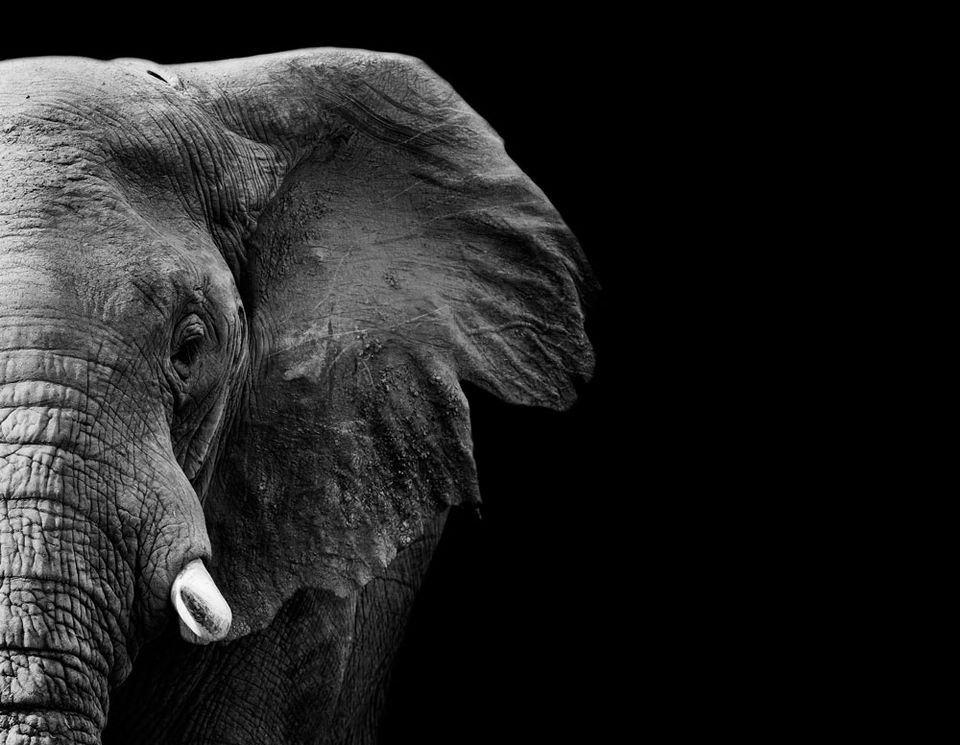 The elephant population has declined by almost one-third in under a decade