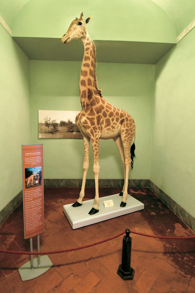 A stuffed giraffe commemorating the gift of a live one from Sultan Qaitbay in 1487