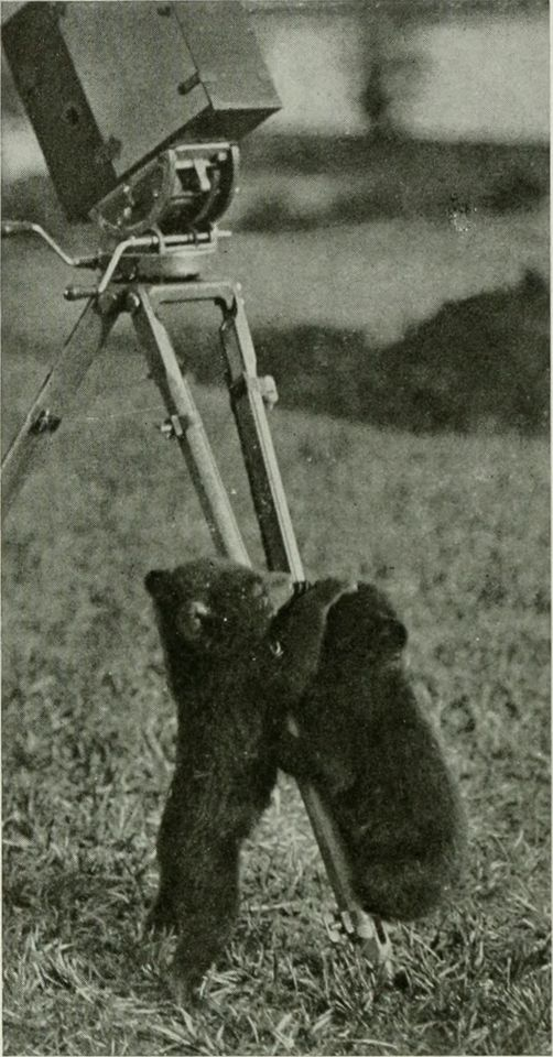 Not your average bear? The legendary Yeti, or Abominable Snowman, is probably in reality the Tibetan blue bear, spotted by nervous mountaineers when it reared onto its hind legs  Image from page 597 of The American Museum journal (c1900-[1918])  Title: The American Museum journal  Identifier: americanmuseumjo17amer  Year: c1900-[1918] (c190s)  Authors: American Museum of Natural History  Subjects: Natural history  Publisher: New York : American Museum of Natural History  Contributing Library: American Museum of Natural History Library  Digitizing Sponsor: Biodiversity Heritage Library